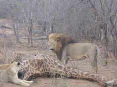 Lion giraffe kill 2 African Safari, Lions, Giraffe, Horses, Animals, Lion, Giraffes, Animales, Animaux