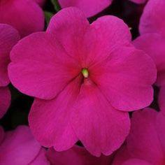 500 Impatiens seeds Impreza Violet
