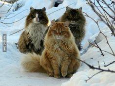 I present to you Norwegian wild cats
