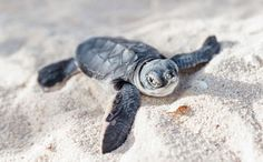 """Happy News in the Animal World:  """"Sea Turtles Are Making a Big Comeback in the Southeast"""" <3  [September 8, 2015]"""