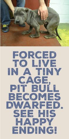 Forced To Live In A Tiny Cage, Pit Bull Becomes Dwarfed. See His Happy Ending!!