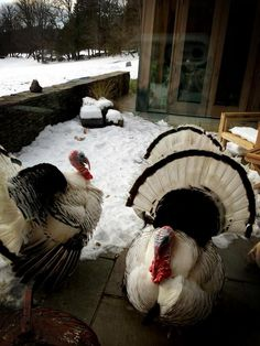 turkeys on writer Susan Orlean's patio...