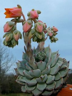 Echeveria rob roy