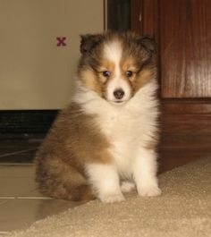 Sheltie puppies are really smart.