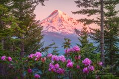 Mount Hood, Oregon and Rhododendrons in the Springtime.   www.gary-randall.com
