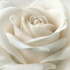 ⚜ Romantique Rose ⚜ - menentk: Purity by Darlene Kwiatkowski Love Rose, My Flower, Pretty Flowers, White Flowers, Pink Roses, Gif Kunst, Decoration Evenementielle, Deco Nature, Hybrid Tea Roses