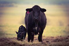 Cute Cows, Animals, Beautiful, Animales, Animaux, Animal, Animais