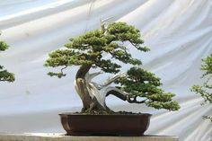 Kayseri bonsai