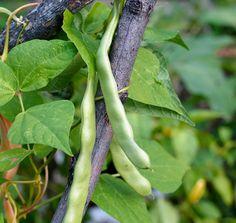 Seminte Fasole verde cu teaca lata verde Vegetables, Flowers, Animals, Green, Animales, Animaux, Vegetable Recipes, Animal, Animais