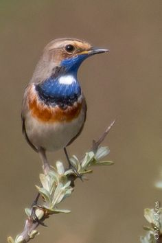 Bluethroat (luscinia svecica) is a small passerine bird that was formerly classed as a member of the thrush family Turdidae, but is now more generally considered to be an Old World flycatcher, Muscicapidae.