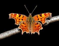 Related image What A Beautiful World, Beautiful Bugs, Beautiful Butterflies, Amazing Nature, Butterfly Images, Butterfly Kisses, Beautiful Creatures, Animals Beautiful, Butterfly Chrysalis