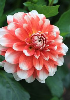 "Princess Louise of Sweden Dahlia (4"" bloom; 4' bush): orange petals with white tips; formal decorative."