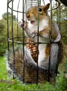 This squirrel managed to break into a rodent-proof bird feeder but then got well and truly stuck. The cheeky creature wriggled its way into the feeder and spent several minutes gorging on bird treats before becoming wedged in. George Reszeter photographed the sight in his back garden in Abingdon, Oxon