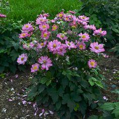Pink Roses, Pink Flowers, Cut Flower Garden, Curtain Call, Autumn Garden, Photo Essay, Cut Flowers, Perennials, Yard Ideas