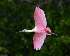 November 19, 2016. Eco Pond, Flamingo, Everglades National Park, Florida, USA. The Roseate Spoonbill (Platalea ajaja) is found throughout most of South America east of the Andes, the Caribbean, Mexico and in coastal areas of the Gulf of Mexico and Florida in the USA. It is resident during the entire year and fairly common in it's range.