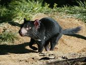 Tasmanian Devils Named Endangered Species