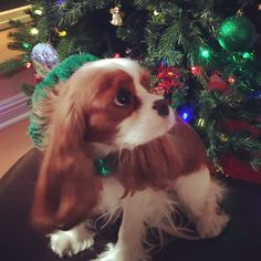 Oh, mom I didn't know you were there. I was just checking to make sure none of the presents were moved. King Charles Puppy, Cavalier King Charles Dog, King Charles Spaniel, I Love Dogs, Puppy Love, Cute Puppies, Cute Dogs, Baby Animals, Cute Animals