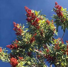 The Brazilian Pepper Tree Schinus terebinthifolius is a highly invasive alien invasive species