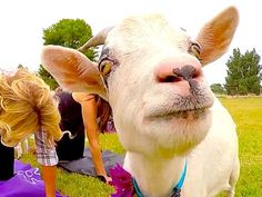 There are about than a billion goats wandering the planet and a select few of them actually have jobs… as fitness professionals! Teresa Strasser met up with Arizona Goat Yoga's Sarah Williams and April Gould to find out more about the fun new fitness trend of working out with these cute animals.