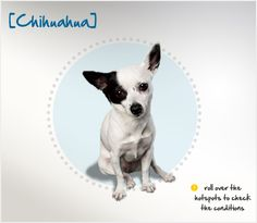 Did you know that in ancient times, Chihuahuas were considered holy and were used in religious ceremonies and as pets of the upper class?  Read more about this breed by visiting Petplan pet insurance's Condition Checker!