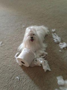 Uh Oh! Maltese LOVE shredding toilet paper and napkins!