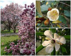 Magnolia Tree Varieties On Pinterest