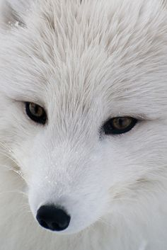 Artic Fox...and now I'm starting to wonder if my white wolf was a wolf at all...her face looked just like this, and I've never found a wolf that looked like the one I saw.