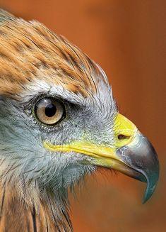 BIRDS OF PREY - HUNTERS - HAWK - FACE CLOSE-UP