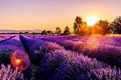 kepek – Google Kereső Lavender Blossoms, Lavender Fields, Lavender Flowers, Lavender Tea, Rose Flowers, France Wallpaper, Hd Wallpaper, Wallpapers, Begonia
