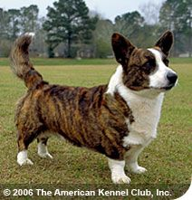 cardigan welsh corgi, LOOKS just like our Little Courtney did!!