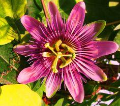 Anwendung mit der Heilkraft dieser Pflanze  Die Passionsblume wird in der Pflanzenheilkunde innerlich angewendet. Anwendungen mit der Passionsblume in der Naturheilkunde finden Sie unter folgenden Stichworten: Alkoholmissbrauch, Alpdrücken, Angst, Herz, Kolik, Krämpfe, Migräne, Nervenkrise, Nervosität, Neuralgie, Schlaflosigkeit Angst, Plants, Flowers, Passion Flower, Herbal Medicine, Insomnia, Natural Medicine, Medicinal Plants, Remedies