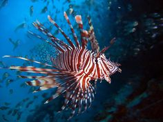 lionfish-10 Reasons to Dive Riviera Maya, Mexico Parallel to the coast you find the Mesoamerican Reef the largest in the Northern Hemisphere and after the Great Barrier Reef in Australia the longest of the planet
