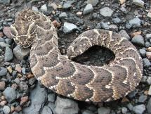 Africa's Most Dangerous Snakes: Puff Adder