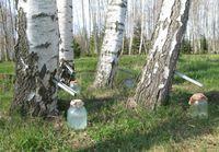 Linfa di betulla  http://www.naturopatika.com/linfa-di-betulla/