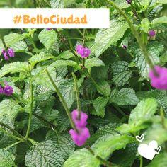 #BelloCiudad Herbs, Cities, Herb, Medicinal Plants