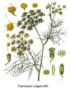 Foeniculum vulgare  (fennel)