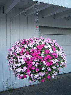 Hanging Basket | Multi-colored Impatiens in a huge hanging b… | Flickr