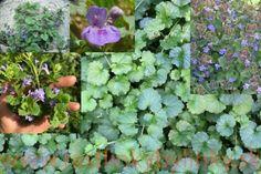 Zádušník brečtanovitý - ( Glechoma hederacea L. ) – 2,10 € / rastlinka v kvetináči :: RASTLINKY BYLINKY Plants, Plant, Planets