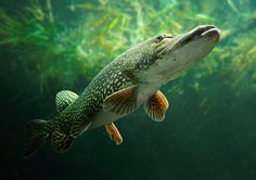 Northern Pike: Finding a Fix that Works -- Minnesota DNR