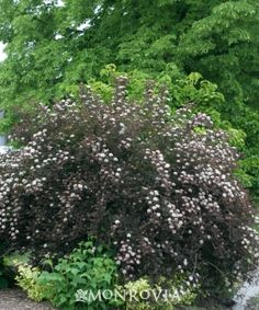 Summer Wine Ninebark - Full Sun zone 3-8. Reaches 5-6' tall and wide.  Mid summer blooms. Medium moisture is best but can tolerate dry conditions once established