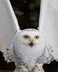 Snowy Owl from the Canadian Raptor Conservancy. - Photo by Fabs Forns