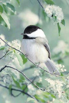 Chickadee: the state bird of Maine.