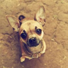 Eliminate Over 30+ Common Behavioral Chihuahua Issues - chihuahua #chihuahua #chihuahualoved #chihuahuadaily