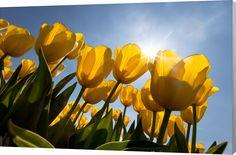 Tulp Ster. Mooie gele tulpen in het veld. Luxe wanddecoratie van Wallstars.