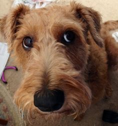My Irish terrier Molly