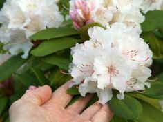 Rhododendron: How to care for it properly Parks, Versailles Garden, Tivoli Gardens, Interior Styling, Earthy, Succulents, Backyard, Flowers, Gardening