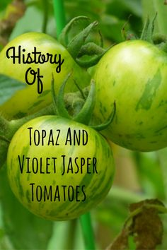 Featured Heirloom of the Week: Topaz and Violet Jasper Tomatoes!