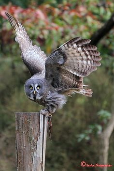 ( FACTOID: Great Gray Owl is a very large owl, documented as the world's largest species of owl. Tthey are distributed across the Northern Hemisphere. In some areas it is also called Phantom of the North Owl, Spectral Owl, Lapland Owl, Spruce Owl, Bearded Owl,and Sooty Owl.)