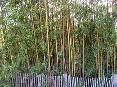 Growing Bamboo...along privacy fence to create a private city oasis! no more prying eyes ;) perfect.