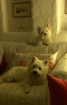 "Happy Resurrection from Aggie and Bonnie #westie.  Aren't they adorable, each doing their own individual ""head tilt""."